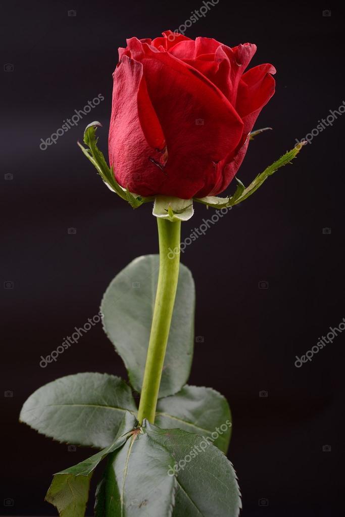 Foto Di Una Rosa Rossa Su Sfondo Nero In Studio Luci Di Un Foto