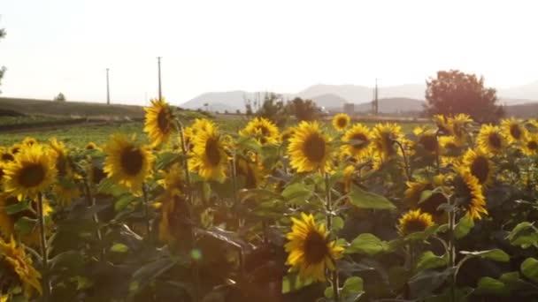 Pole slunce květin