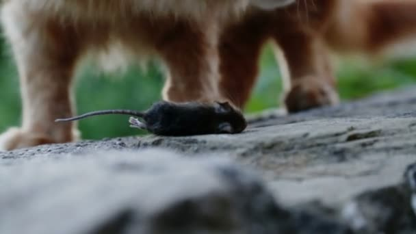 Ginger cat playing with dead mouse