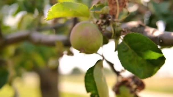 Zelený strom s jablky