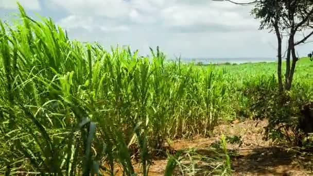 cukornád mező