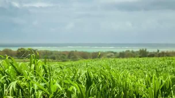 cukrová třtina pole