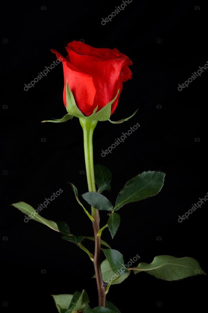 Rosa Su Sfondo Nero Foto Stock Miskandarov 75679177