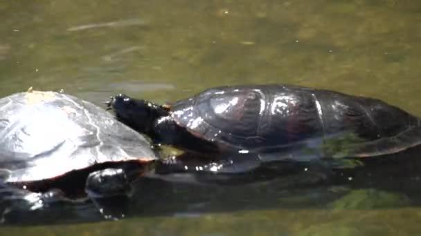 zwei Schildkröten im Wasser