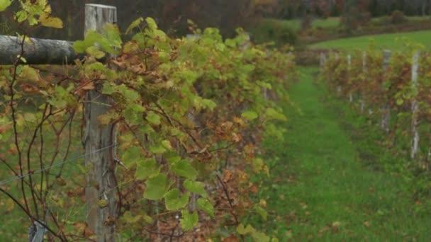 Friss szőlő, termesztés
