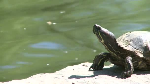 Small turtle enjoying the water (4 of 6)