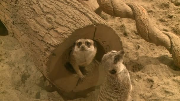 Curious meerkats in zoo