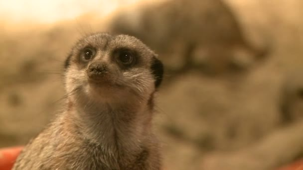 Curious meerkats in zoo