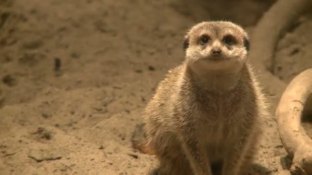 Zvědavý surikat v zoo