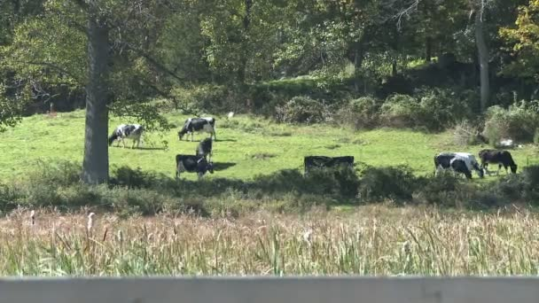 mucche al pascolo sul prato