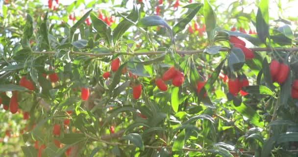Goji-Beeren Früchte und Pflanzen im Sonnenschein Garten