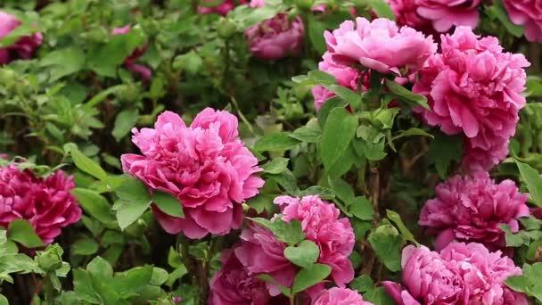 Růžové květy pivoňky