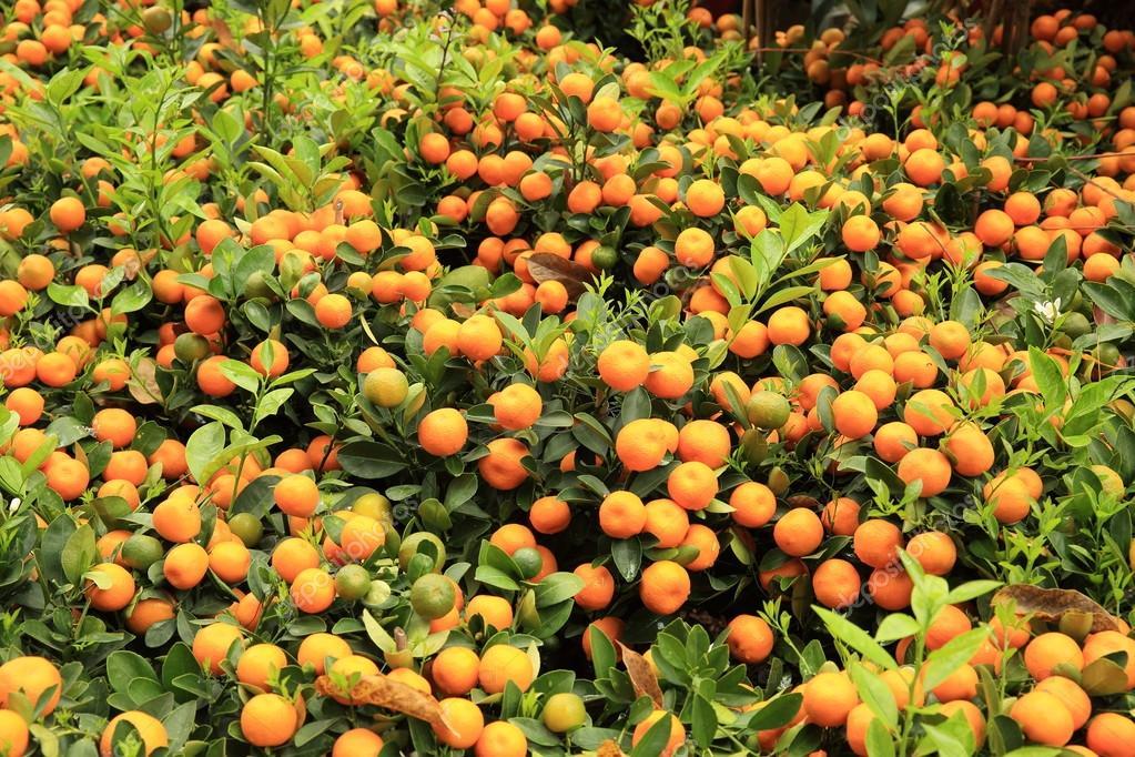 Yellow citrus oranges