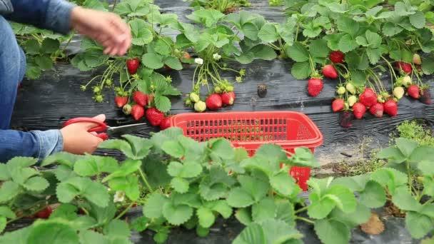 Weibchen ernten Erdbeere