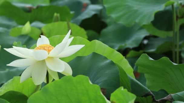 Včel opylujících lotus