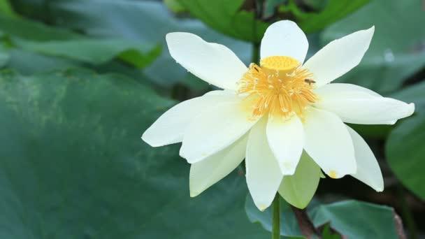 Szép lotus Beporzó méhek