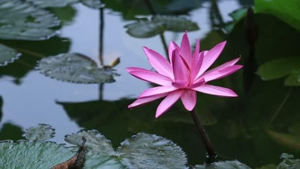 핑크 연꽃