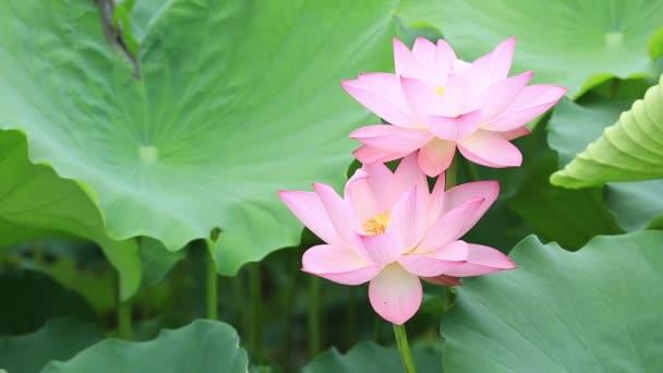Růžový lotos květiny