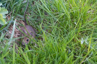 gray mouse in the grass