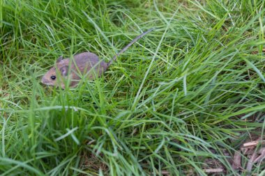 Mouse on the grass