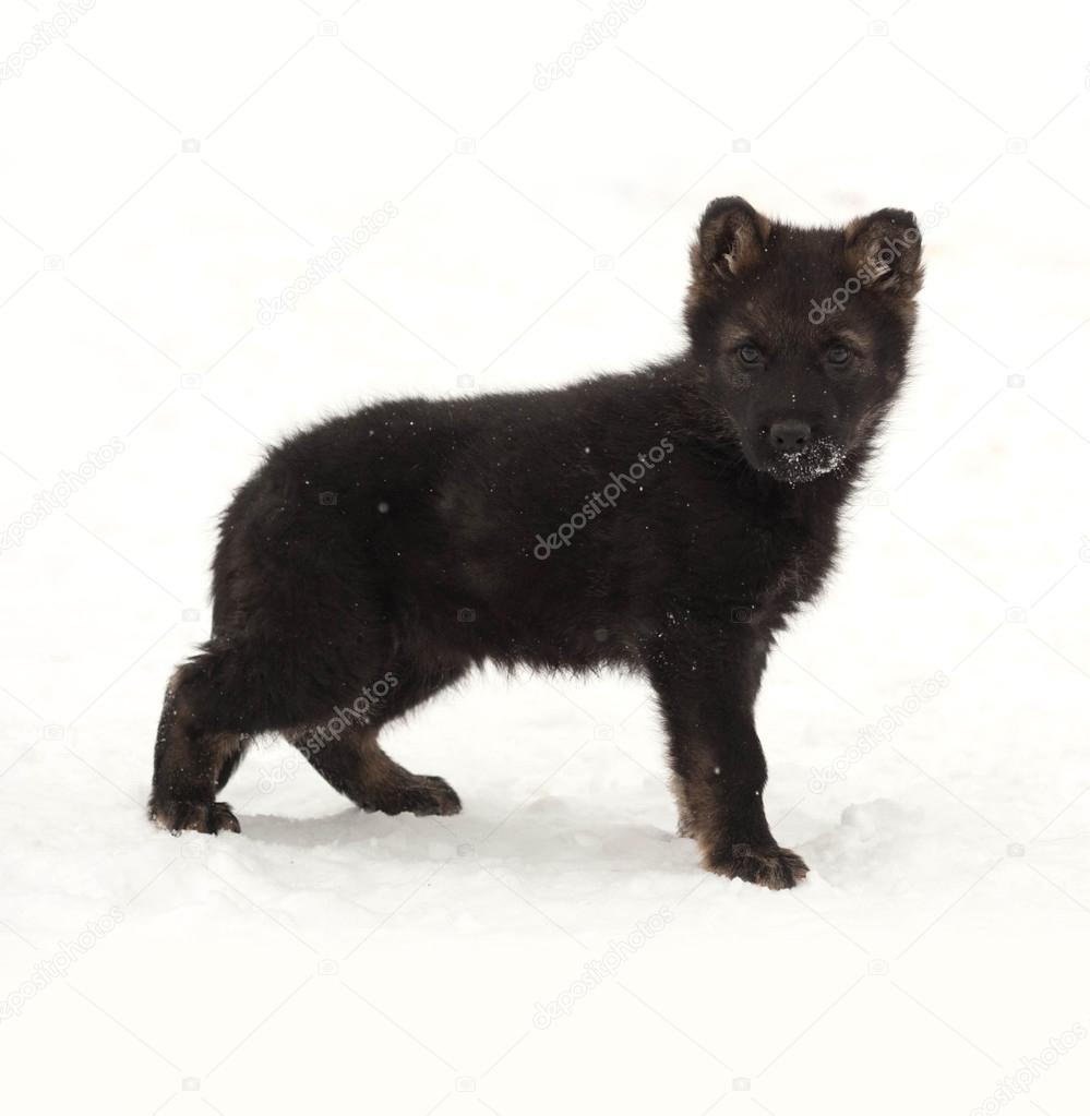Black German Shepherd Puppy Standing In Snow Stock Photo