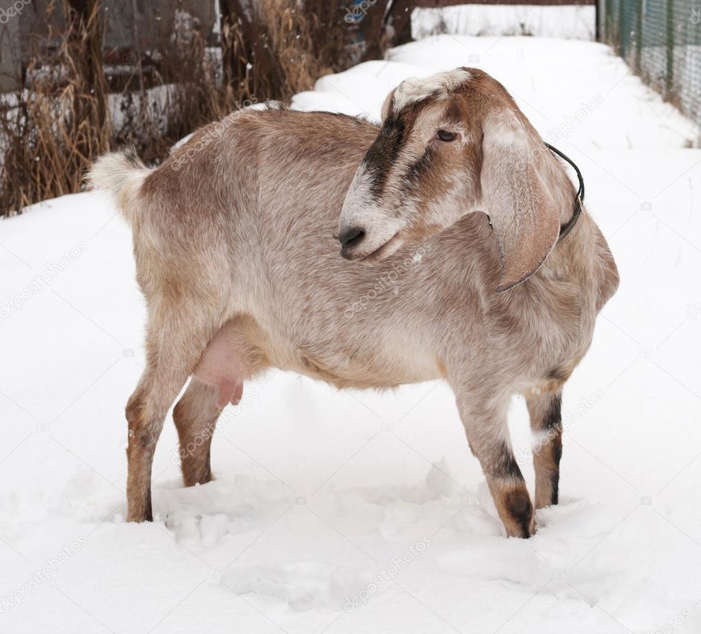 In piedi di capra nubiana marrone sulla neve foto stock for Piani di fattoria di 2000 piedi quadrati