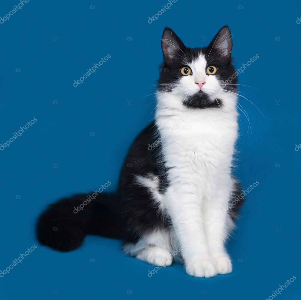 Fluffy black and white cat sitting on blue — Stock Photo ...