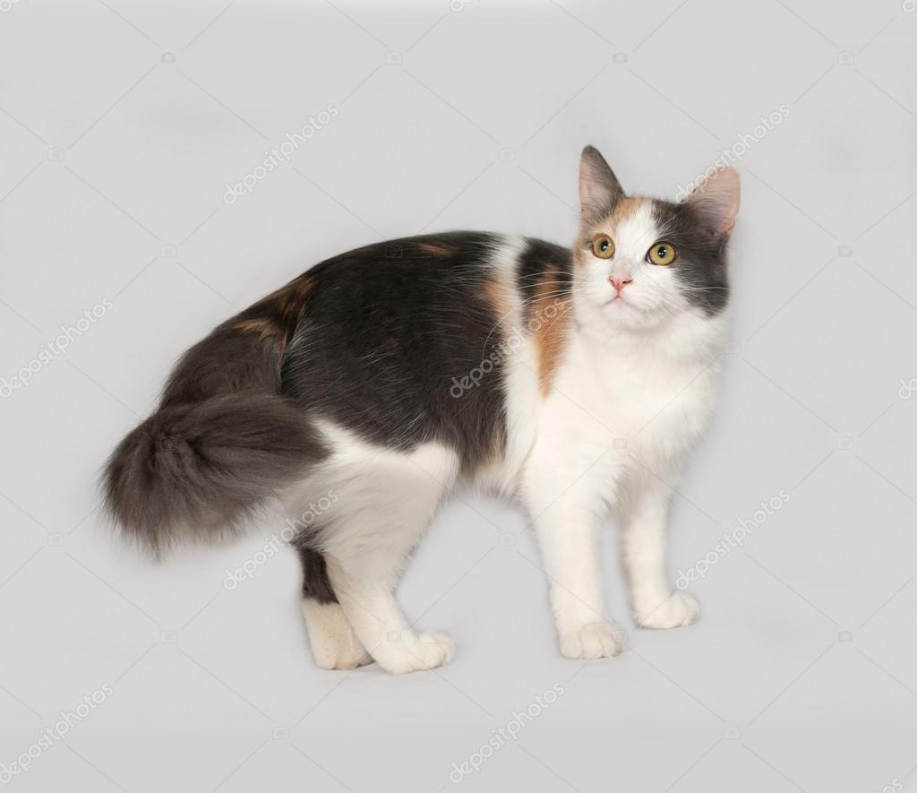 Tricolor cat standing on gray — Stock Photo © darzyhanna #83526046