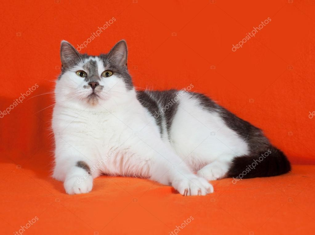 White and gray spotted cat lies on orange — Stock Photo © darzyhanna ...