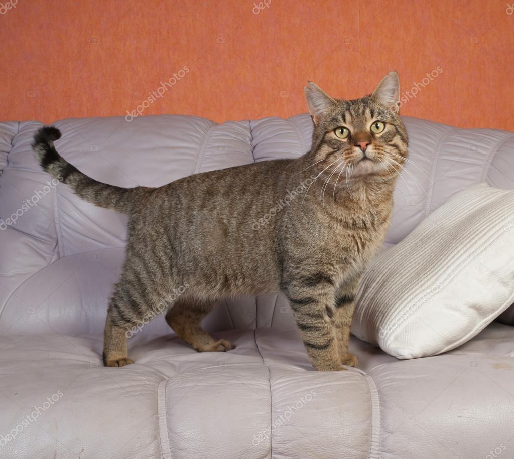 Leren Bank Katten.Cyperse Kat Staande Op De Leren Bank Stockfoto C Darzyhanna