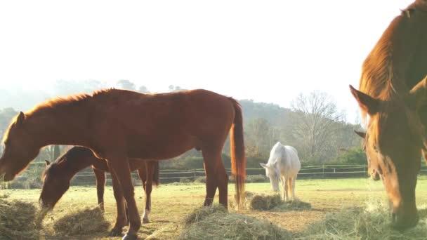 Málo divocí koně pasoucí se v poli, jíst trávu, ranní mráz na trávě, kůň se dívá na kameru, bílé a hnědé koně, pára z nozder, podsvícení, slunce oslnění