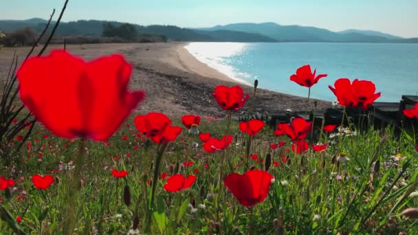 It is a lot of flowers of poppies against a picturesque sea landscape of a blue lagoon with an empty public beach at sunrise, mountains on a background, without tourists, azure water
