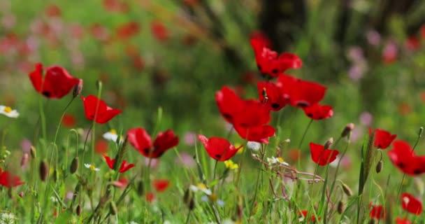Malebná krajina se spoustou květů máku při východu slunce, rozmazané pozadí zelené barvy, bez turistů