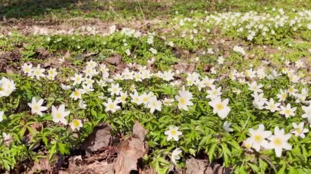 A korai virágzás a hóvirág tavaszi erdőben a napsütéses napon, fehér virágok, kamera mozog virágok, vadon élő fa, közelkép