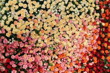 The Great Wall of roses of different colors and sizes, yellow ro
