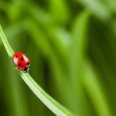Beruška běží po ostří zelené trávy