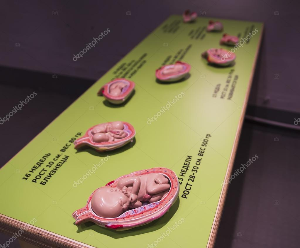 Anatomía de un embarazo — Foto de stock © zhykova #97133670