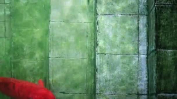 Měkké soustředěný velké červené Koi kapry ryby, plavání starých schodů pod vodou bazén