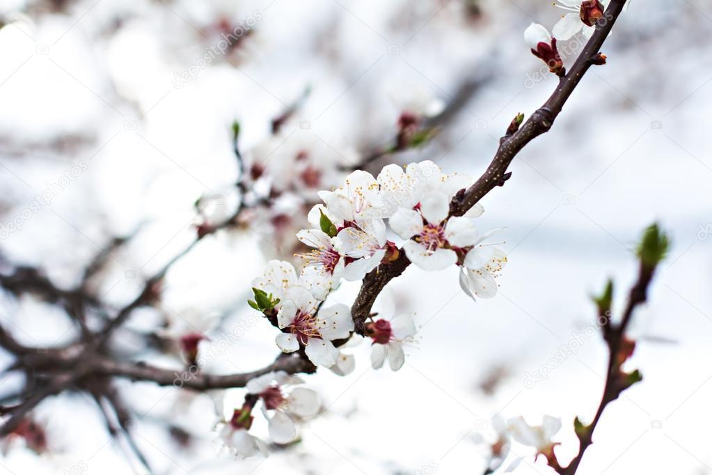 Aprikose Baum Blumen. Frühjahr weiße Blüten auf einem Ast. Aprikose ...