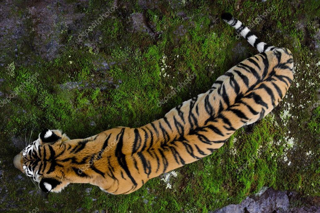 Ussuriyrsky tiger