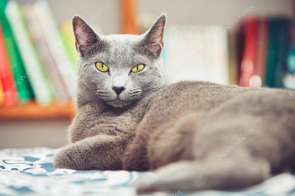 f1c7082e4 Ruská modrá kočka — Stock Fotografie © Chalabala #106503260