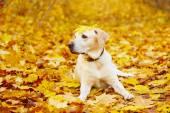 pes na podzim