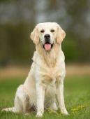 Bílý zlatý retrívr pes