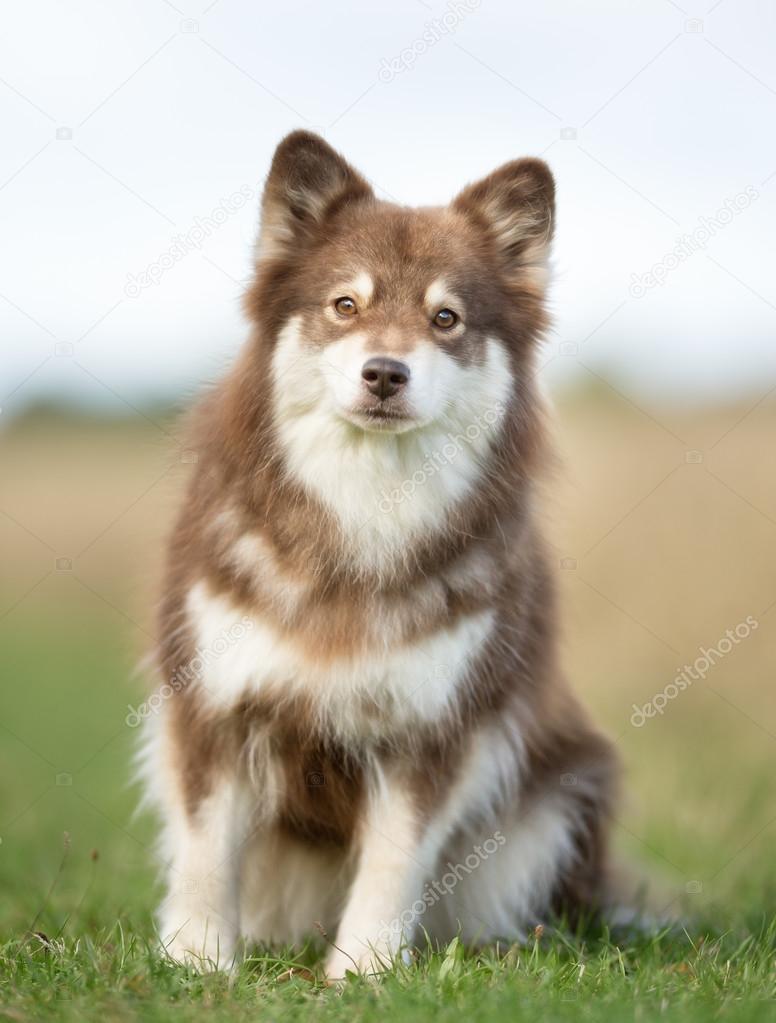 Finnish Lapphund Dog For Sale
