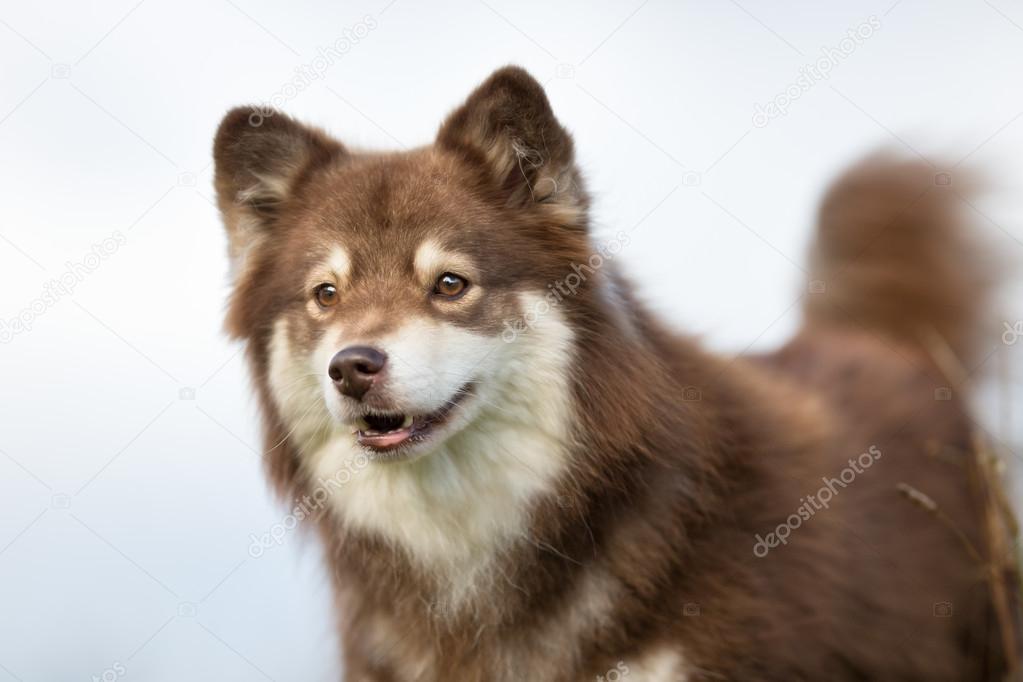 finse lappenhond hond — stockfoto © bigandt #124579250
