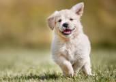 Photo Playful golden retriever puppy