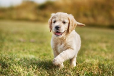 Running golden retriever puppy