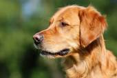 zlatý retrívr pes