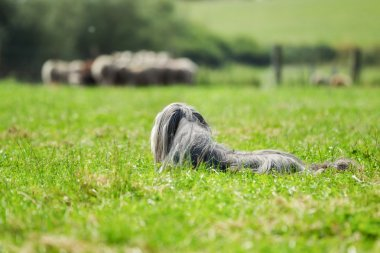 Bearded border collie dog guarding sheep