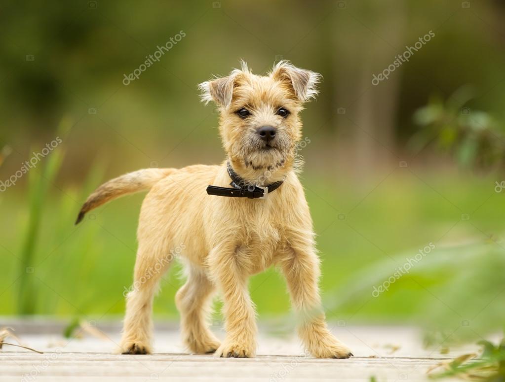 cairn terrier puppy stock photo bigandt 61427549